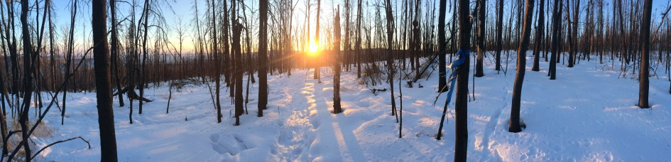 A burned black spruce forest in winter.