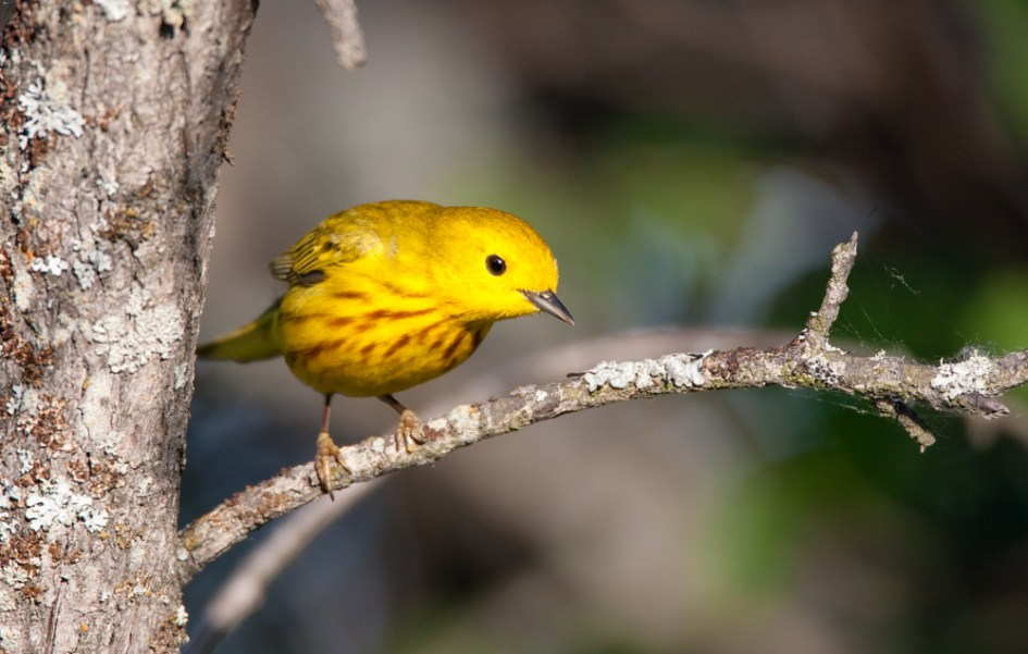 Warbler too, like this male Yellow Warbler are often found in big mixed species flocks during fall, as well as on their wintering grounds in Central America.