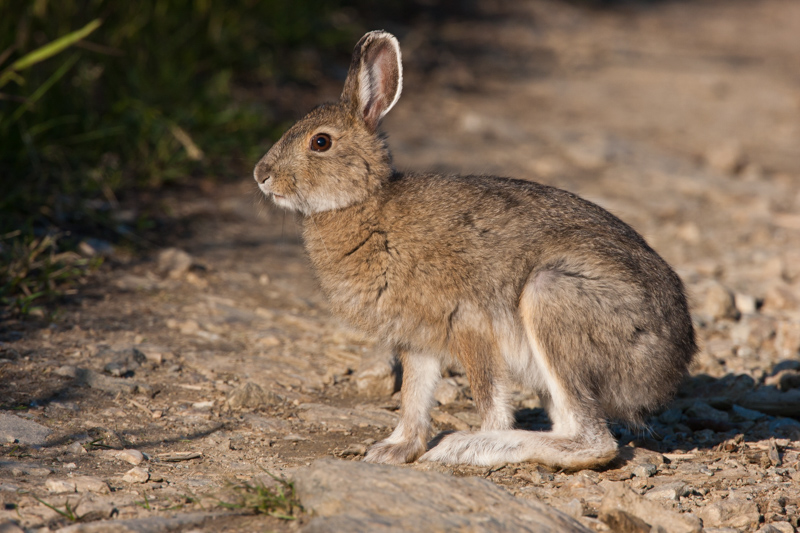 Snowshoe Hare in the summer.
