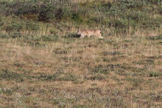 The fuzzy, distant shot of the lynx I saw along the Kokolik River.
