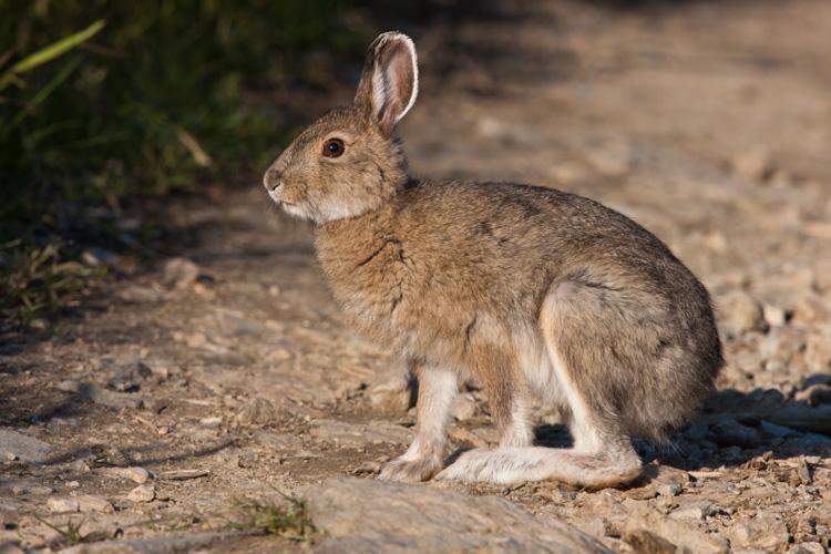 Snowshoe hare, interior Alaska.