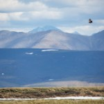 Golden Eagles in Alaska – More than Expected