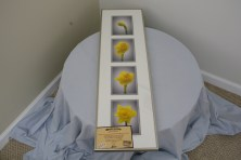 $125 VALUE - four framed photographs of a growing daffodil by artist Bill Dziejman
