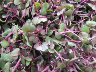 $25 VALUE - One $25 gift certificate for microgreens courtesy of Polliwog Farm, good at any Ypsilanti Farmers Market for one year (3 available)