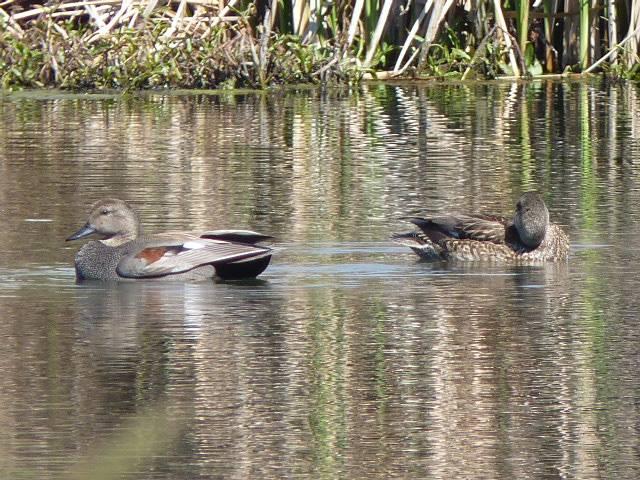 Alpine Pond with Gadwall ducks 2