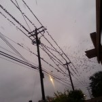 Grackles roosting and taking flight near HEB