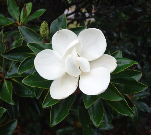 Medium Of Little Gem Magnolia