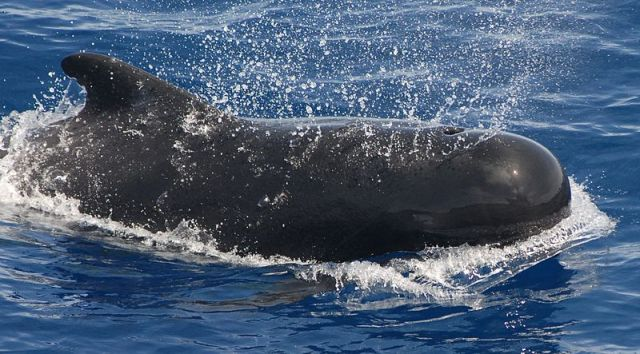 Seven Pilot Whales Die South Africa: Baffles Officials