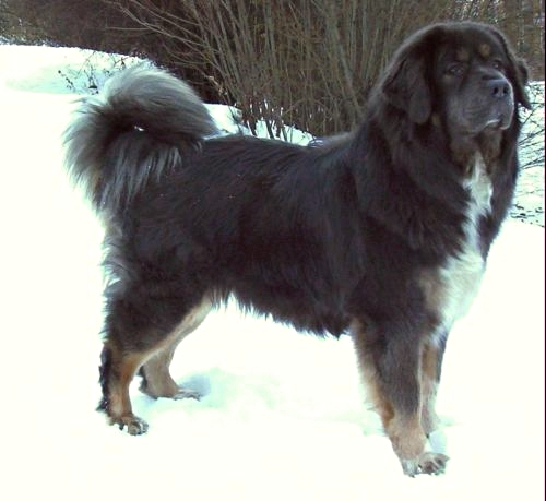 The Tibetan Mastiff (Wylie: do khyi; Lhasa dialect IPA: [tʰòcʰi]) is an ancient breed and type of domestic dog (Canis lupus familiaris) originating with nomadic cultures of Indian state of Himachal Pradesh, Tibet and Central Asia.