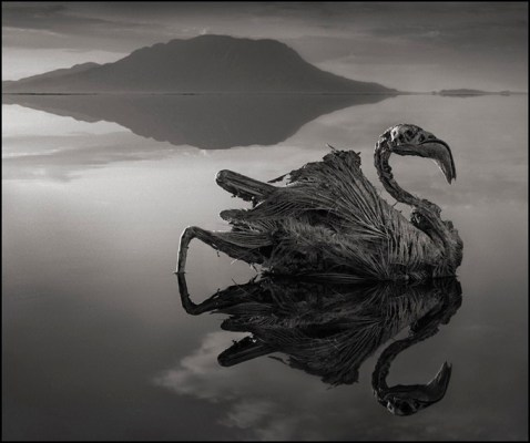 Calcified Reflected Flamingo