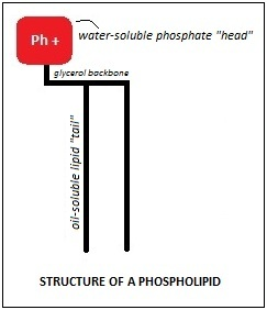Phospholipid diagram