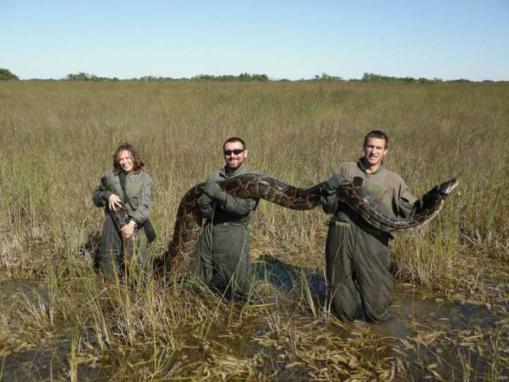 This large Burmese python, weighing 162 pounds and more than 15 feet long at the time of its capture in 2009, was caught alive in the Everglades and was found to have eaten an American alligator that measured about 6 feet in length. University of Florida researchers in the photo: Michael Rochford is holding the python's head, and Alex Wolf and Therese Walters are holding the python's body. Precipitous declines in formerly common mammals in Everglades National Park have been linked to the presence of invasive Burmese pythons, and other constrictors, according to a study published Jan. 30, 2012, in the Proceedings of the National Academy of Sciences. University of Florida photo, Mike Rochford