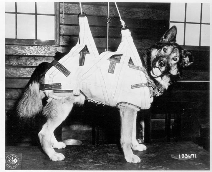 Dog in parachute harness.
