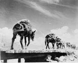 Mountain troops test the relative merits of the mule as they plod – slowly but surely – up a mountain, ca. 1942. Mules are more surefooted than the horse and follow the lead animal willingly. Library of Congress photo
