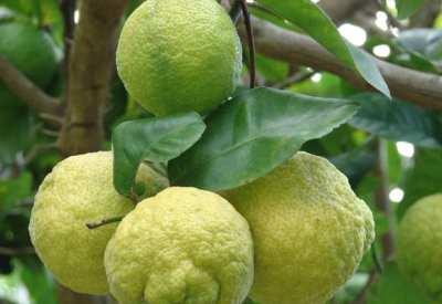 Te enseñamos a hacer, colonia de limón