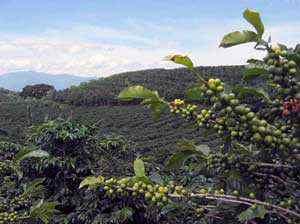 Odrůdy kávy
