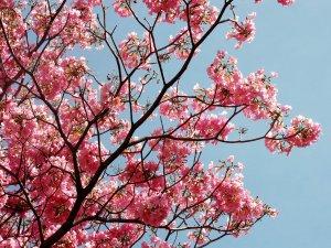 Florecen_los_ apamates
