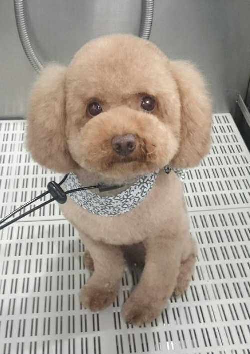 Cozy Puffy Round Ears Poodle Dog Groomer New Westminster New Vancouver Teddy Bear Cut Aussie Teddy Bear Cut On Shih Tzu Teddy Bear