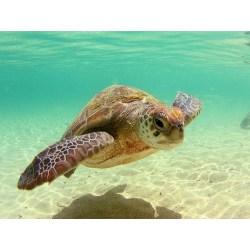 Small Crop Of Sea Turtle Wallpaper