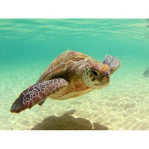 Medium Crop Of Sea Turtle Wallpaper
