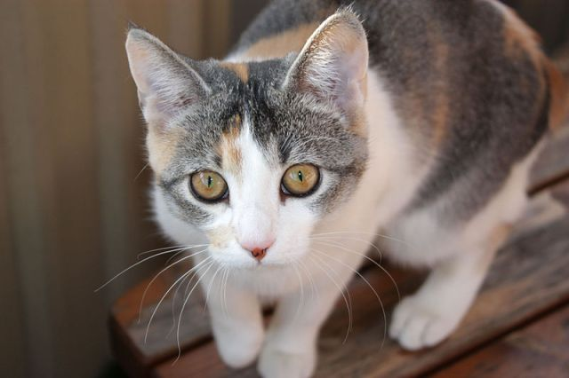 800px-Tortoiseshell_she-cat