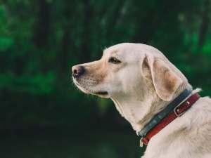 The Labrador Retriever: A Purebred Perfect For Family Life