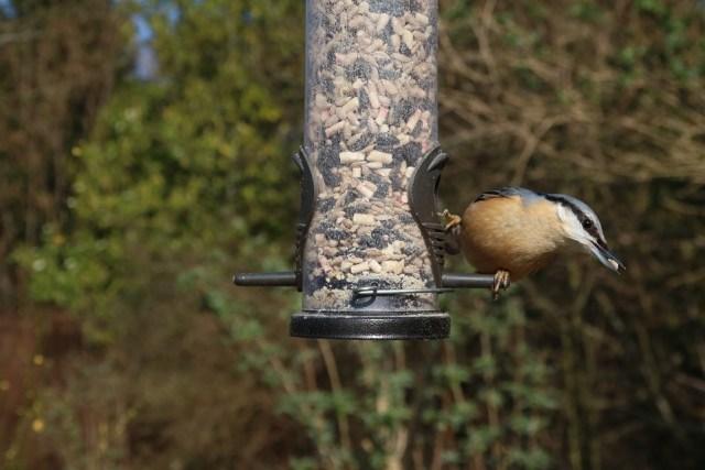 Nuthatch Nature Wild Feeder Bird Garden Avian
