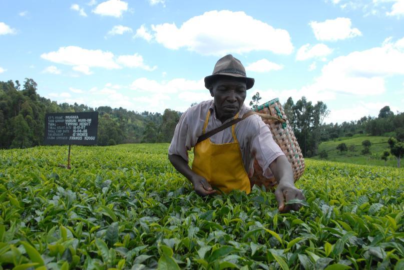 Tea-farmer.jpg