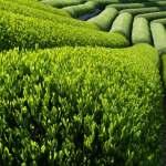 green-tea-benefits-4315