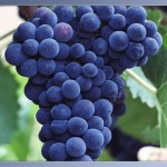 Grapes__25147_zoom1