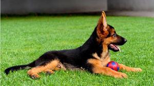 nombres-para-perros-pastor-aleman-16x9