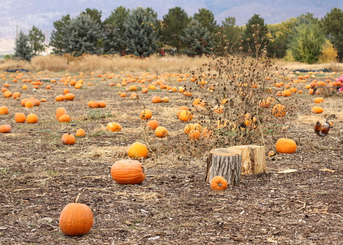 pumpkin-patch-copy