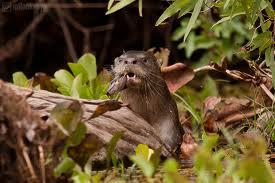 Nome Vientífico: Lontra longicaudis