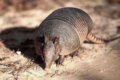 Nome científico: Priodontes giganteus