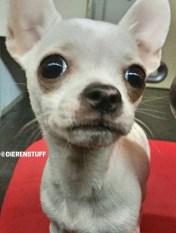 opvoeden van een chihuahua