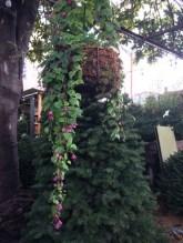 Purple Bells Vine (Rhodochiton)