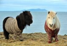 shetland ponies in sweater