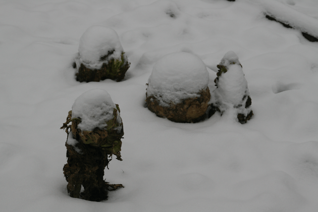 rotten_snowy_cabbages