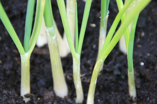 IMG_9565spring_onions-3