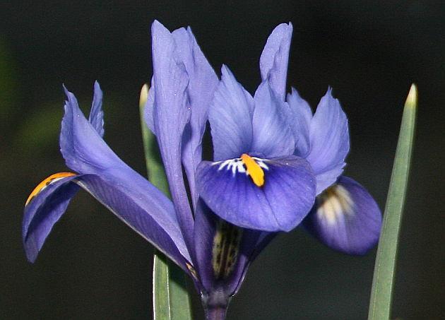 iris_march