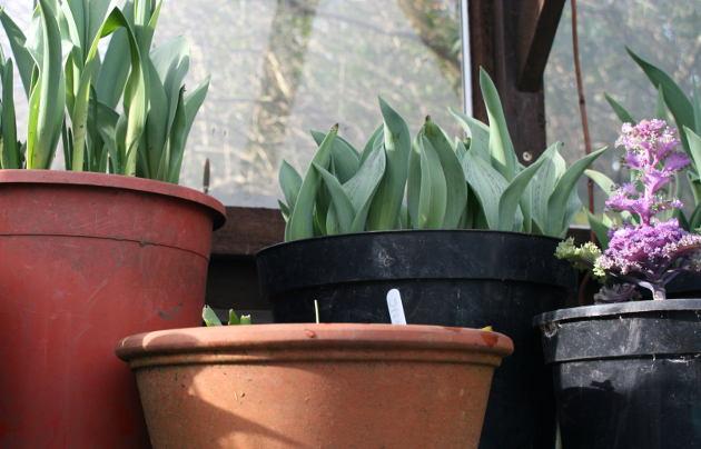 tulip_bulbs
