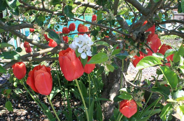 tulips_under_fruit_trees