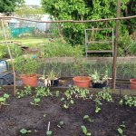 Down at the allotments – what's growing on!