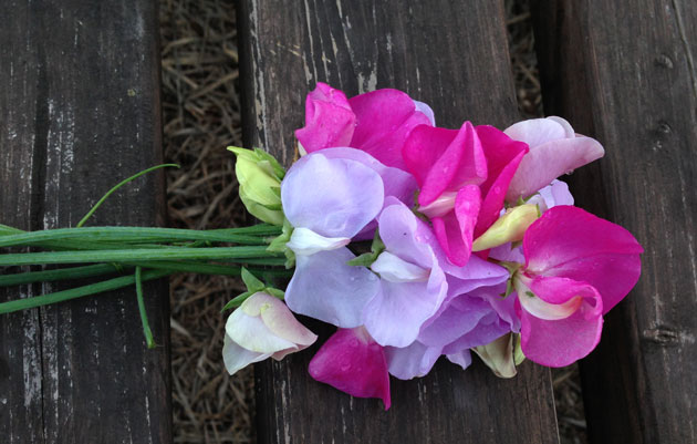 growing-sweet-peas