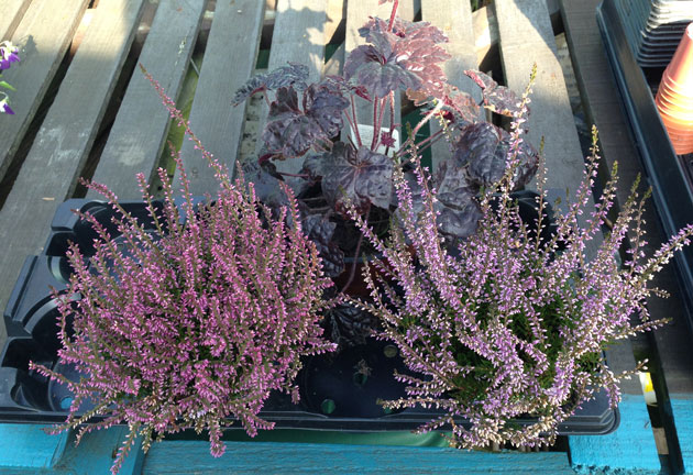 heather-heuchera