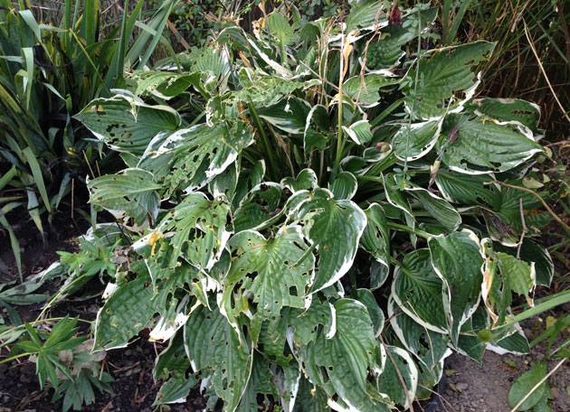 hosta-damage