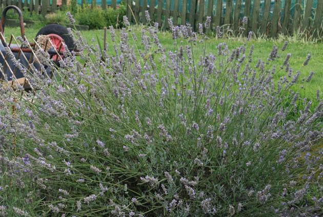 lavender-october