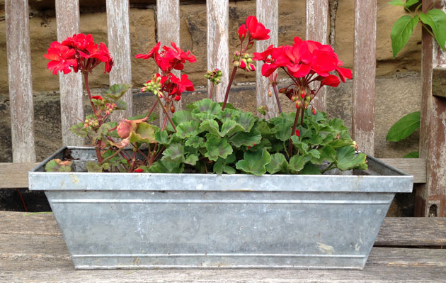 red-pelargoniums