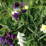Summer favourites – sweet peas