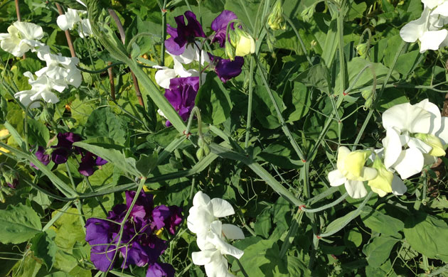 sweet-pea-garden